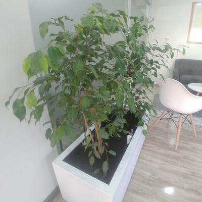 Ficus de Interior Oficina