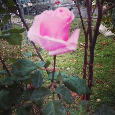 rosas en invierno