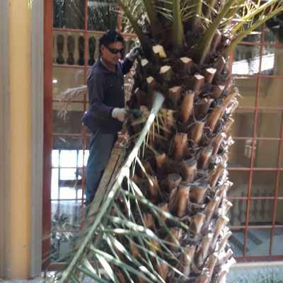 Trabajo de poda de limpieza y retiro de hojas en la Embajada de Turquía