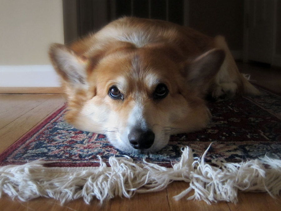 Perro sobre alfombra