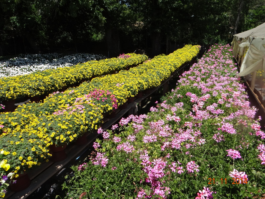 Foto produccion plantas ornamentales hualqui de garden for Produccion de plantas ornamentales