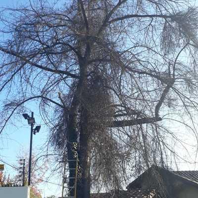 Tala de Encino seco situado en domicilio en Las Condes