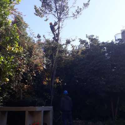 Trabajo de descope en árbol Laurel en comuna de Las Condes
