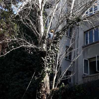 Trabajo de poda en álamo - Embajada de francia