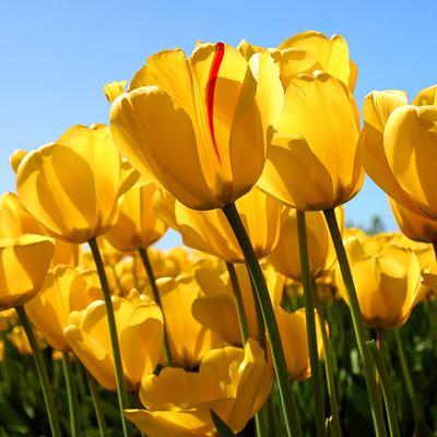 Tulips_12831