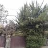 Poda de pinos