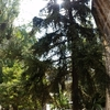 Podar pino