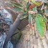 Tala de árboles y retiro de ramas y sobrantes