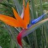 Solicito presupuesto de jardinero que sepa trasplantar plantas grandes strelitzia ( flor del paraìso