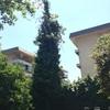 Recorte y poda arbol 12 a 14 mts ne jardin las condes
