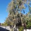 Poda de eucalipto